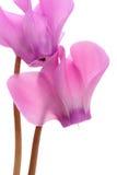 cyklamenów kwiaty Fotografia Stock