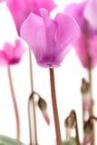 cyklamenów kwiaty Zdjęcie Royalty Free