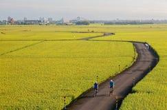 Cyklister på en spolning för landsväg till och med guld- risfält i Ilan Yilan Taiwan fotografering för bildbyråer
