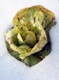 Cykoria jest oszroniejącymi zimnotrwałymi warzywami Zdjęcie Royalty Free