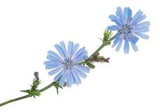 Cykoriowi kwiaty Obraz Royalty Free