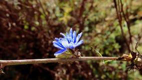 Cykoriowy kwiat Obrazy Stock