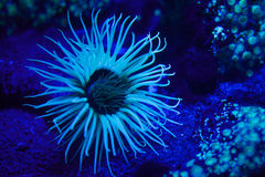 Cylinder anemone Cerianthus membranaceus. Cylinder anemone Cerianthus membranaceus, also known as the coloured tube anemone Stock Image