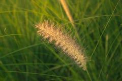 Cylindrica Beauv Imperata Poaceae Στοκ Εικόνες