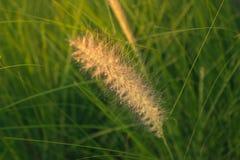 Cylindrica Beauv Imperata Poaceae Στοκ Εικόνα