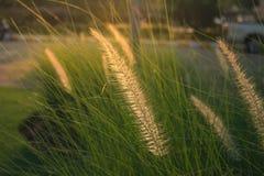 Cylindrica Beauv Imperata Poaceae Στοκ φωτογραφία με δικαίωμα ελεύθερης χρήσης