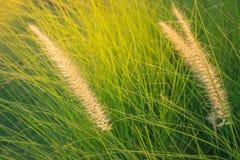 Cylindrica Beauv Imperata Poaceae Στοκ Φωτογραφίες