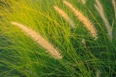 Cylindrica Beauv Imperata Poaceae Στοκ Φωτογραφία
