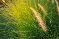 Cylindrica Beauv Imperata Poaceae Στοκ εικόνα με δικαίωμα ελεύθερης χρήσης