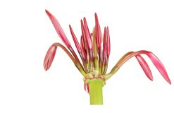 Cylindrical flower stalk with buds of Giant spider Stock Image