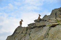 Cylindricornis della capra di Turs nelle montagne del Caucaso occidentale immagine stock libera da diritti
