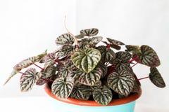 Cylindricus del senecio delle piante da appartamento Fotografie Stock