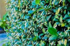 Cylindriskt klippte buskar arkivbild