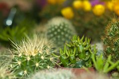 Cylindropuntia Among A Variety Of Cactus On A Flower Shop Shelf Stock Image