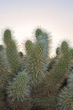 Cylindropuntia bigelovii Royalty Free Stock Photos