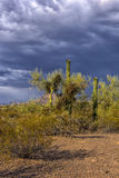 Cylindropuntia fulgida with fruits and Creosote bush in a desert Royalty Free Stock Photography