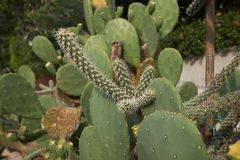 Cylindropuntia imbricata spiny branch. Branch  of Cylindropuntia imbricata cactus stock images
