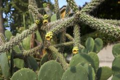 Cylindropuntia imbricata spiny branch. Branch with fruit of Cylindropuntia imbricata cactus stock photography