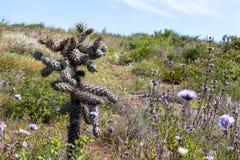 Cylindropuntia spp. or Cholla, cactus from Californian coastal shrub. Ensenada, Baja california, mexico stock image