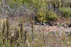 Cylindropuntia spp. or Cholla, cactus from Californian coastal shrub. Ensenada, Baja california, mexico royalty free stock photography