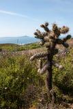 Cylindropuntia spp. or Cholla, cactus from Californian coastal shrub. Ensenada, Baja california, mexico royalty free stock photos