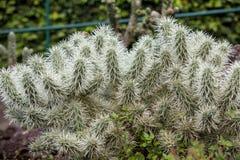 Free Cylindropuntia Tunicata Stock Photography - 184905052
