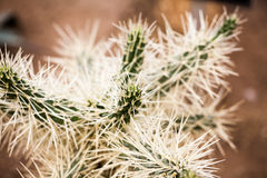 Cylindropuntia tunicata plant Royalty Free Stock Photography