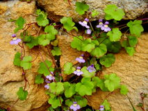 Cymbalaria muralis on a stone wall Royalty Free Stock Images