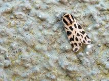 Cymbalophora pudica aka Descrete Chaperon moth Royalty Free Stock Photo