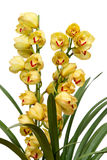 Cymbidium Royalty Free Stock Photo