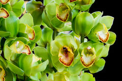 Cymbidium obraz stock