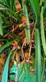 Cymbidium aloifoliumστο πάρκο Στοκ Φωτογραφία