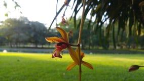 Cymbidium aloifoliumστο πάρκο Στοκ Εικόνες