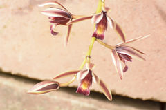 Cymbidium aloifolium. With the distribution of species in Southeast Asia. Epiphytic orchid is perched in the trees more. The trunk is short Islands are Royalty Free Stock Photo