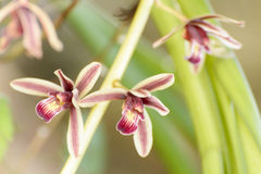 Cymbidium aloifolium. With the distribution of species in Southeast Asia. Epiphytic orchid is perched in the trees more. The trunk is short Islands are Royalty Free Stock Photography