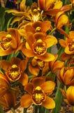 Cymbidium anaranjado Imagenes de archivo