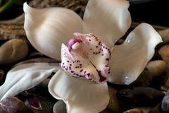 Cymbidium or boat orchid Stock Photo
