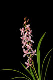 Cymbidium Eastern Beach Orchid Royalty Free Stock Photography