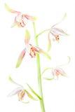 Cymbidium ensifolium Stock Images