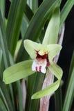 Cymbidium flower Stock Image