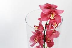 Cymbidium flower on the white background Royalty Free Stock Photography