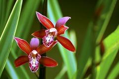 Cymbidium hybrid orchids Stock Photo