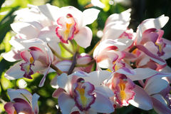 Cymbidium insigne Stock Photography