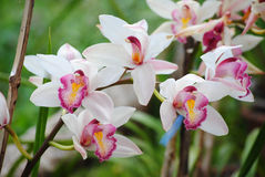 Cymbidium insigne Stock Images