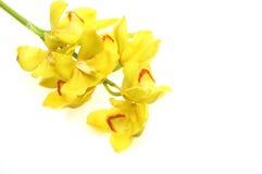 Cymbidium jaune Photographie stock
