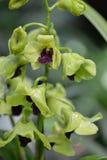 Cymbidium lub łodzi orchidea Obrazy Stock