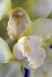 Cymbidium- oder Bootsorchidee Stockfotografie