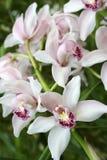 Cymbidium, orchidée Photographie stock