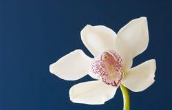 Cymbidium orchid. White cymbidium orchid photographed against a dark blue background Royalty Free Stock Photos