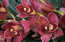 Cymbidium orchid Royalty Free Stock Images